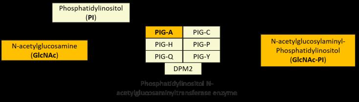 PIGA Pathway2